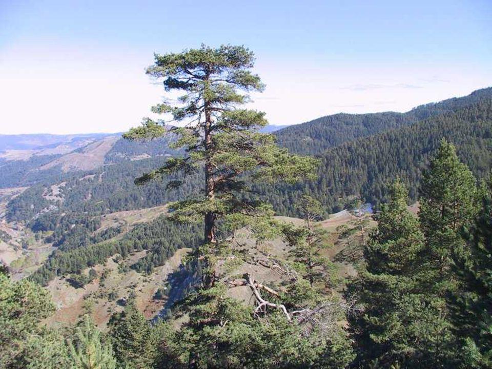 SARIÇAM (Pinus sylvestris ) FISTIKÇAMI FISTIKÇAMI Pinus pinea L.Pinus pinea L.