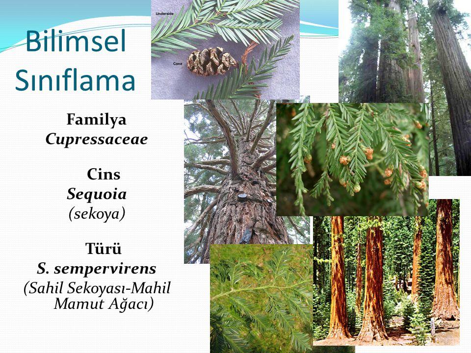 Bilimsel Sınıflama Familya Cupressaceae Cins Sequoia (sekoya) Türü S. sempervirens (Sahil Sekoyası-Mahil Mamut Ağacı)