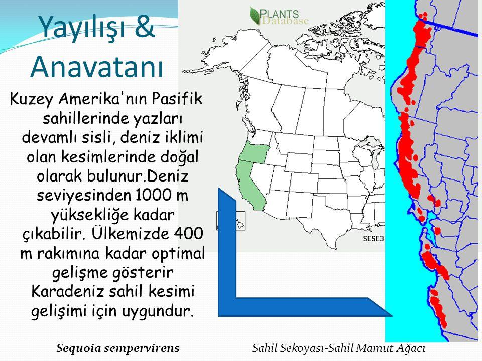 Yayılışı & Anavatanı Kuzey Amerika'nın Pasifik sahillerinde yazları devamlı sisli, deniz iklimi olan kesimlerinde doğal olarak bulunur.Deniz seviyesin