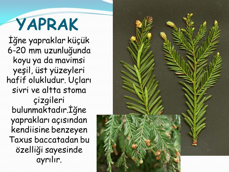 YAPRAK İğne yapraklar küçük 6-20 mm uzunluğunda koyu ya da mavimsi yeşil, üst yüzeyleri hafif olukludur. Uçları sivri ve altta stoma çizgileri bulunma