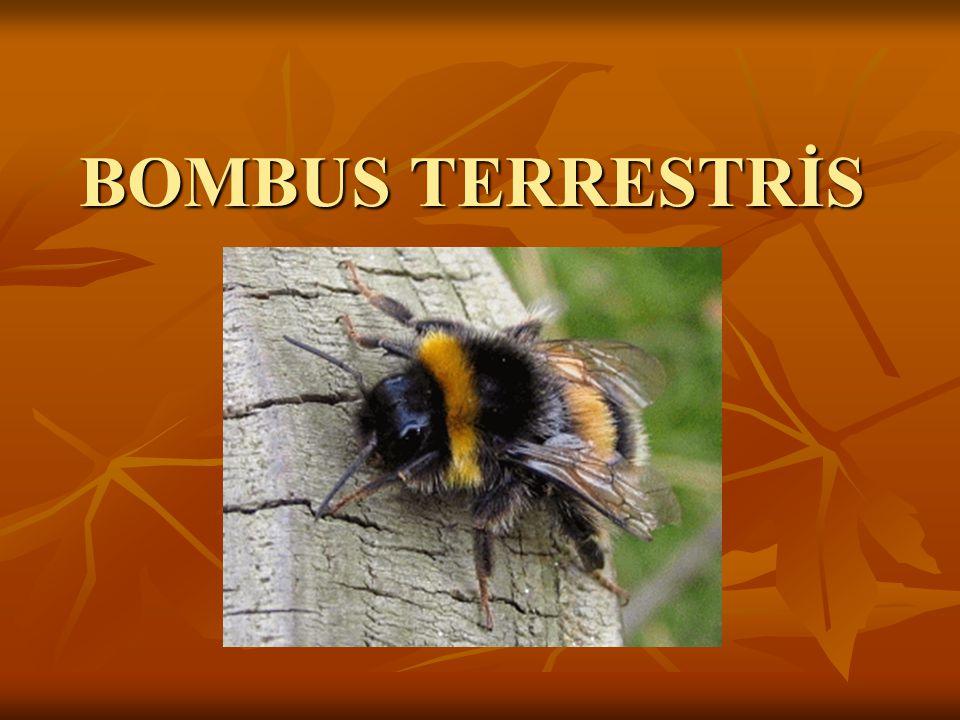 BOMBUS TERRESTRİS