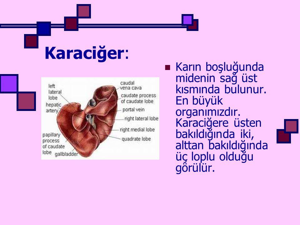 Karaciğer: Karın boşluğunda midenin sağ üst kısmında bulunur. En büyük organımızdır. Karaciğere üsten bakıldığında iki, alttan bakıldığında üç loplu o