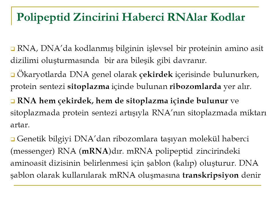  RNA, DNA'da kodlanmış bilginin işlevsel bir proteinin amino asit dizilimi oluşturmasında bir ara bileşik gibi davranır.