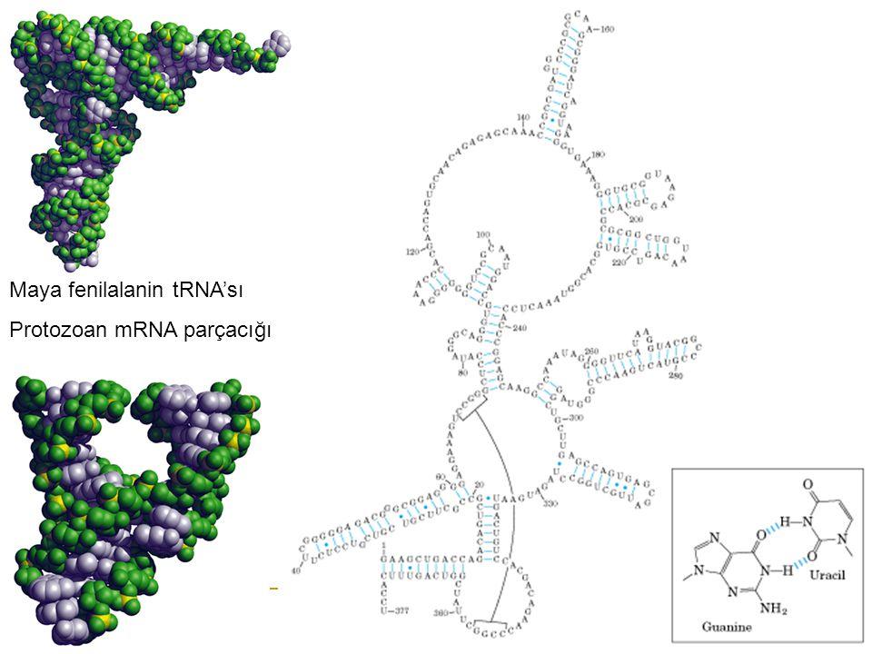 Maya fenilalanin tRNA'sı Protozoan mRNA parçacığı