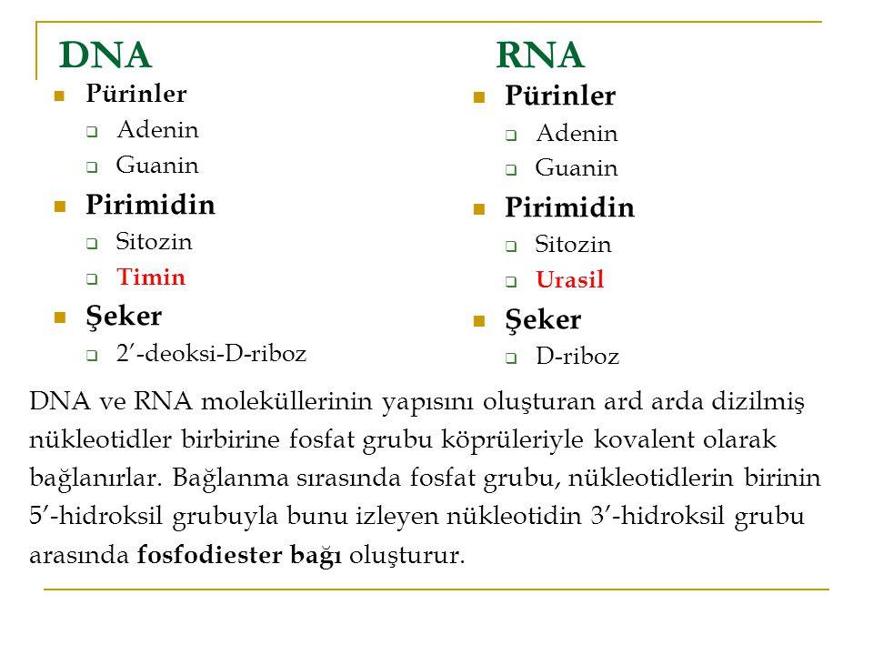 DNARNA Pürinler  Adenin  Guanin Pirimidin  Sitozin  Timin Şeker  2'-deoksi-D-riboz Pürinler  Adenin  Guanin Pirimidin  Sitozin  Urasil Şeker  D-riboz DNA ve RNA moleküllerinin yapısını oluşturan ard arda dizilmiş nükleotidler birbirine fosfat grubu köprüleriyle kovalent olarak bağlanırlar.