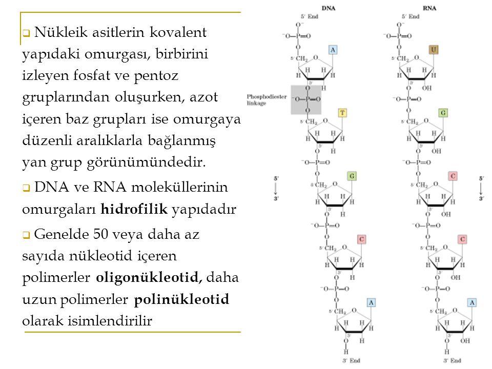  Nükleik asitlerin kovalent yapıdaki omurgası, birbirini izleyen fosfat ve pentoz gruplarından oluşurken, azot içeren baz grupları ise omurgaya düzenli aralıklarla bağlanmış yan grup görünümündedir.