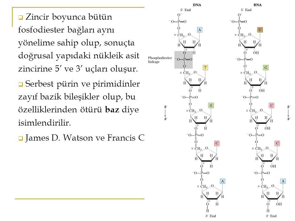 Zincir boyunca bütün fosfodiester bağları aynı yönelime sahip olup, sonuçta doğrusal yapıdaki nükleik asit zincirine 5' ve 3' uçları oluşur.