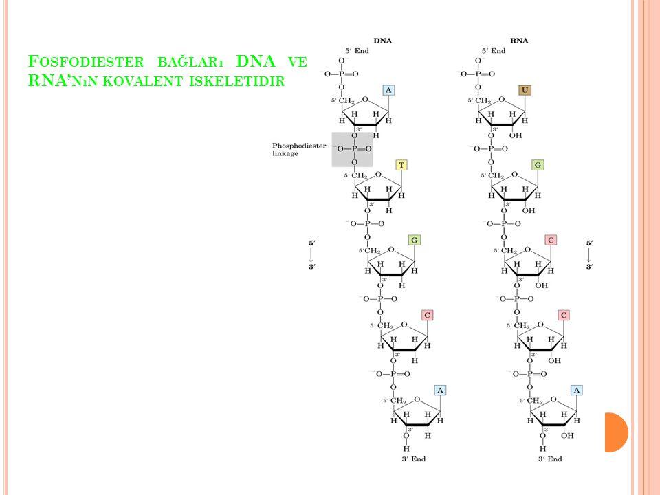 F OSFODIESTER BAĞLARı DNA VE RNA' NıN KOVALENT ISKELETIDIR