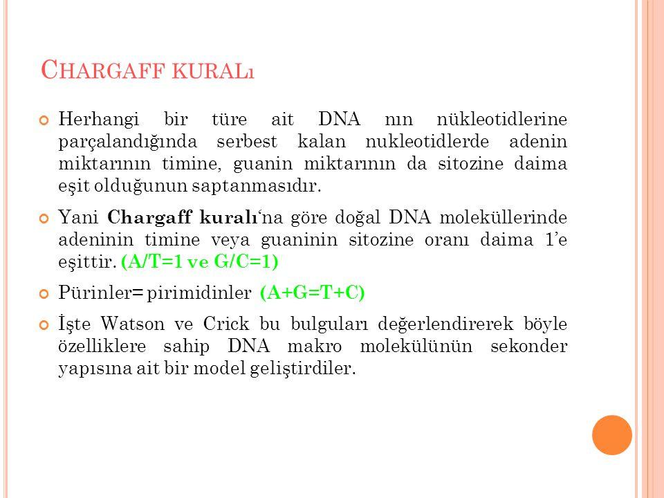 C HARGAFF KURALı Herhangi bir türe ait DNA nın nükleotidlerine parçalandığında serbest kalan nukleotidlerde adenin miktarının timine, guanin miktarının da sitozine daima eşit olduğunun saptanmasıdır.