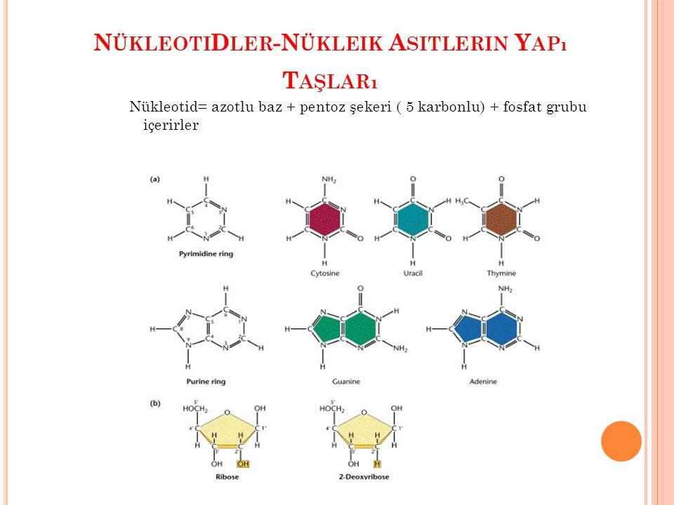 AZOTLU BAZLAR: İKİ ÇEŞİTTİR 9 atomlu, iki halkalı pürinler (Adenin, Guanin) 6 atomlu tek halka içeren pirimidinler (Sitozin, Timin, Urasil) A,C,G,T ve U şeklinde simgelenirler.