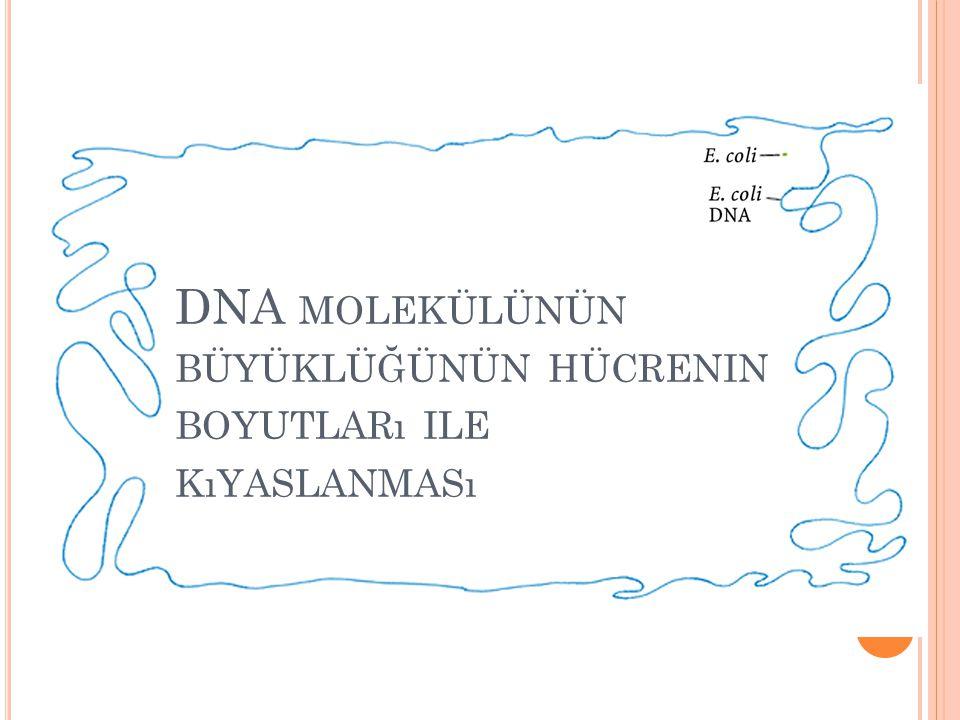 DNA MOLEKÜLÜNÜN BÜYÜKLÜĞÜNÜN HÜCRENIN BOYUTLARı ILE KıYASLANMASı