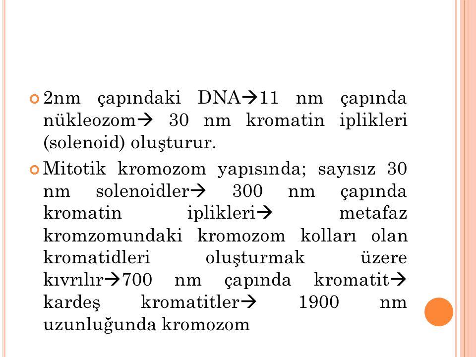 2nm çapındaki DNA  11 nm çapında nükleozom  30 nm kromatin iplikleri (solenoid) oluşturur. Mitotik kromozom yapısında; sayısız 30 nm solenoidler  3