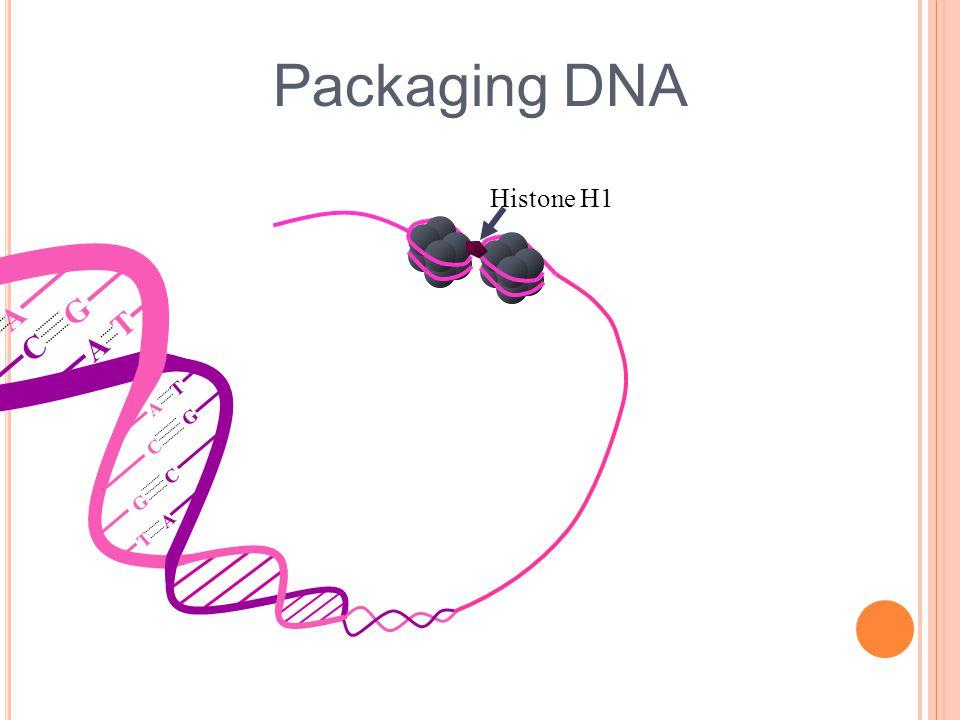 Packaging DNA A T T A G C C G G C T A A T Histone H1