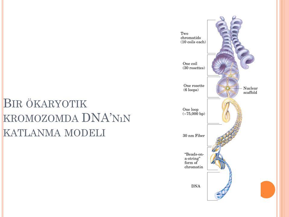 B IR ÖKARYOTIK KROMOZOMDA DNA' NıN KATLANMA MODELI