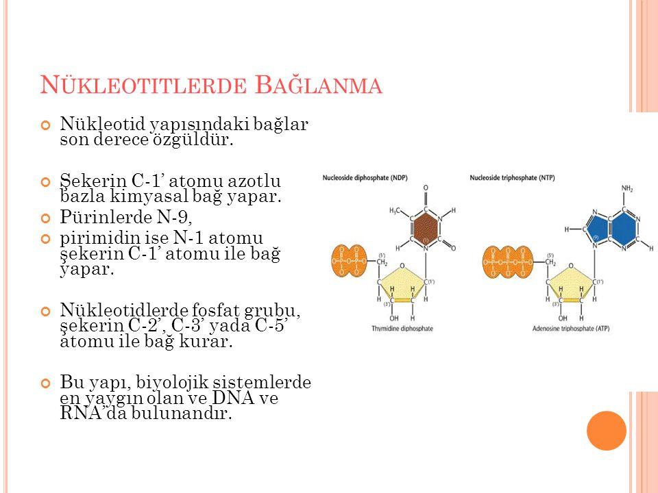 N ÜKLEOTITLERDE B AĞLANMA Nükleotid yapısındaki bağlar son derece özgüldür. Şekerin C-1' atomu azotlu bazla kimyasal bağ yapar. Pürinlerde N-9, pirimi