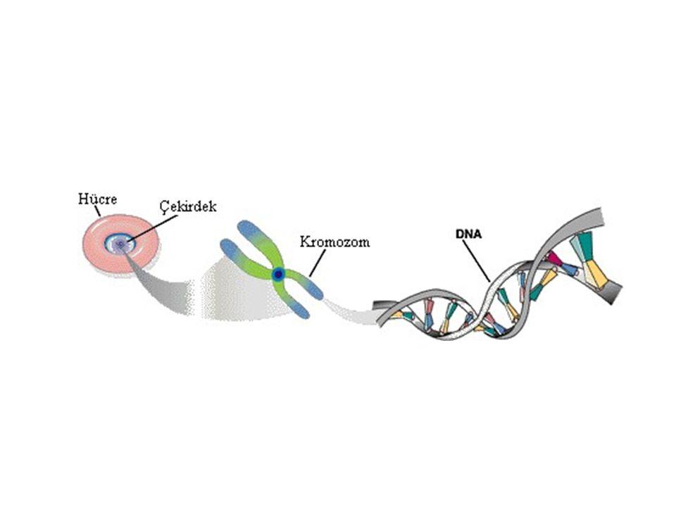 HÜCREDE YAPI VE CANLILIK OLAYLARININ YÖNETİMİ NASIL SAĞLANIR? Hücrede yapı ve canlılık olaylarının yönetimini nükleik asitler sağlar. Protein sentezi,
