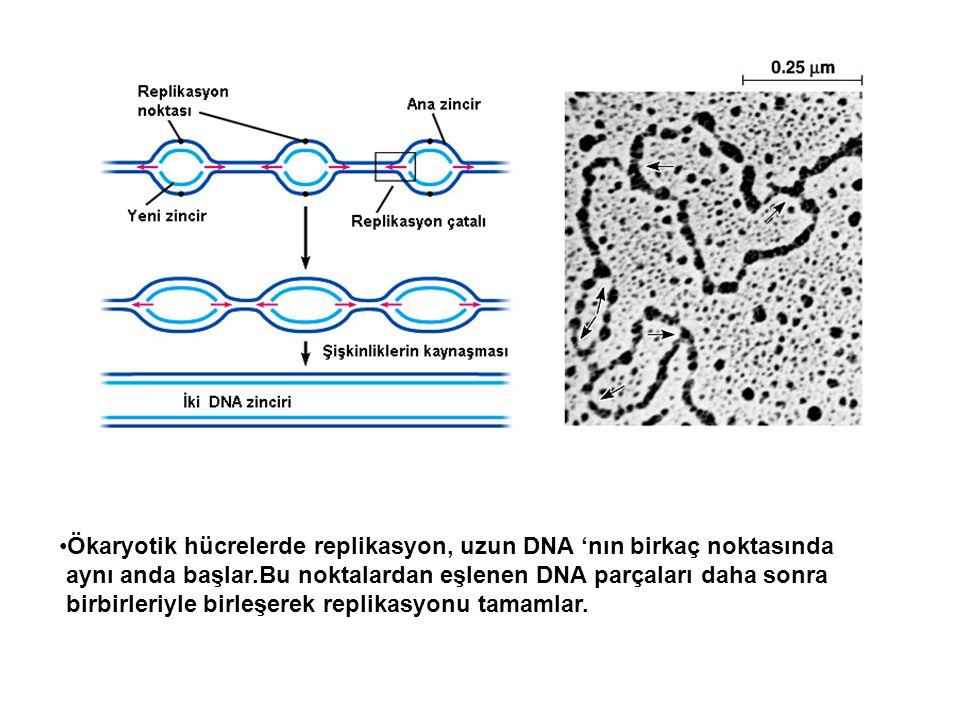 Ökaryotik hücrelerde replikasyon, uzun DNA 'nın birkaç noktasında aynı anda başlar.Bu noktalardan eşlenen DNA parçaları daha sonra birbirleriyle birle