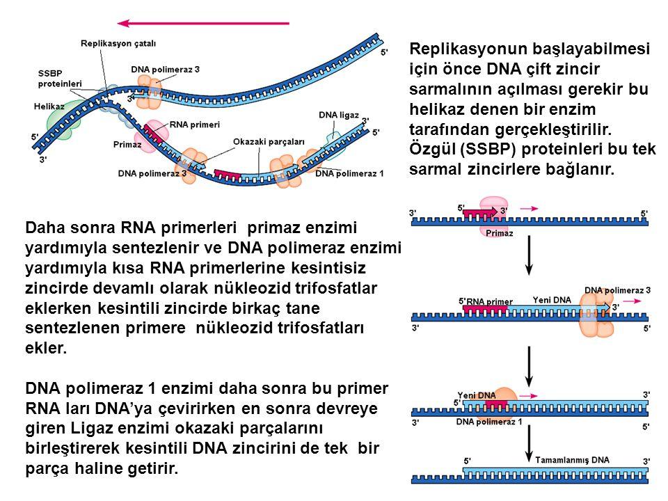 Daha sonra RNA primerleri primaz enzimi yardımıyla sentezlenir ve DNA polimeraz enzimi yardımıyla kısa RNA primerlerine kesintisiz zincirde devamlı ol