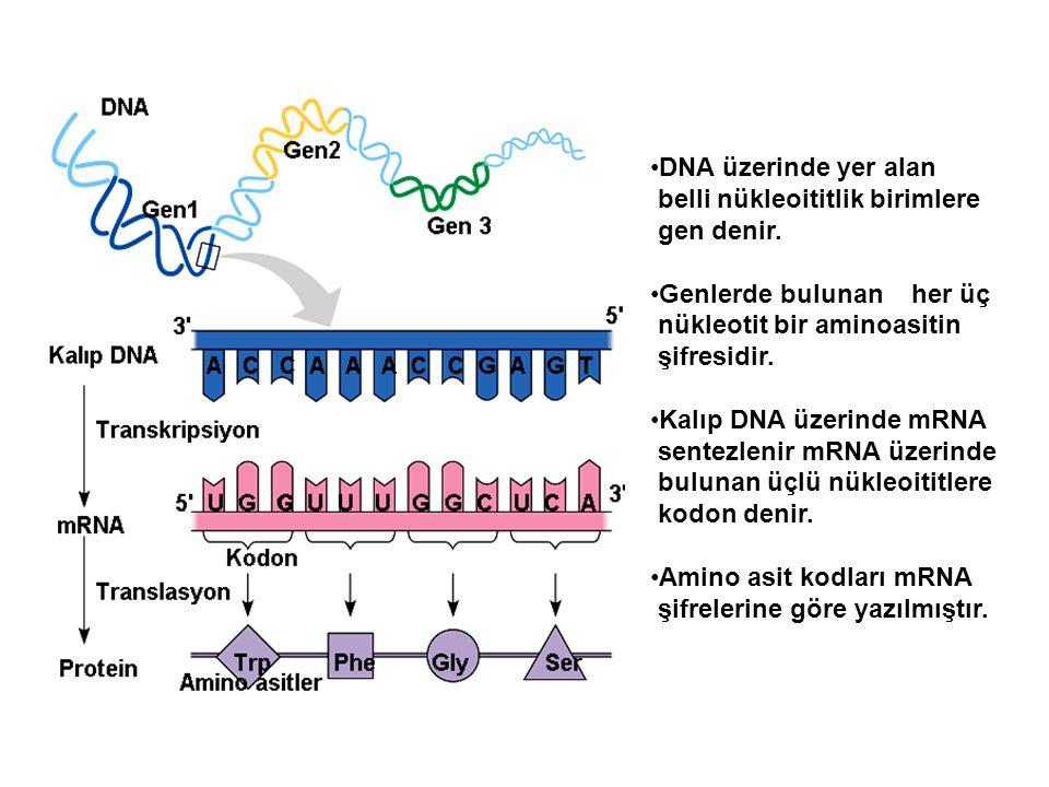 DNA üzerinde yer alan belli nükleoititlik birimlere gen denir. Genlerde bulunan her üç nükleotit bir aminoasitin şifresidir. Kalıp DNA üzerinde mRNA s