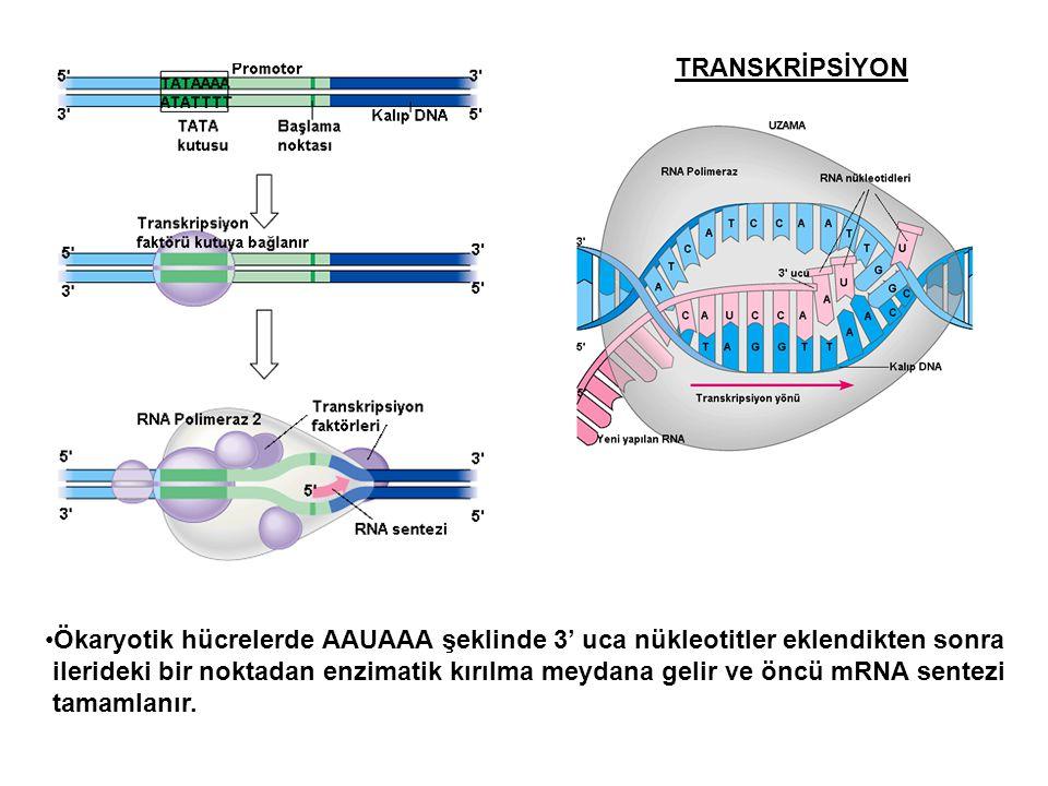TRANSKRİPSİYON Ökaryotik hücrelerde AAUAAA şeklinde 3' uca nükleotitler eklendikten sonra ilerideki bir noktadan enzimatik kırılma meydana gelir ve ön