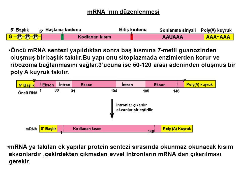 mRNA 'nın düzenlenmesi Öncü mRNA sentezi yapıldıktan sonra baş kısmına 7-metil guanozinden oluşmuş bir başlık takılır.Bu yapı onu sitoplazmada enzimle