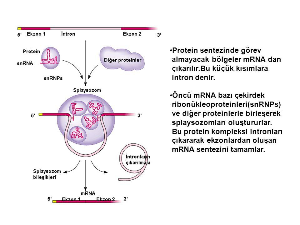 Protein sentezinde görev almayacak bölgeler mRNA dan çıkarılır.Bu küçük kısımlara intron denir. Öncü mRNA bazı çekirdek ribonükleoproteinleri(snRNPs)
