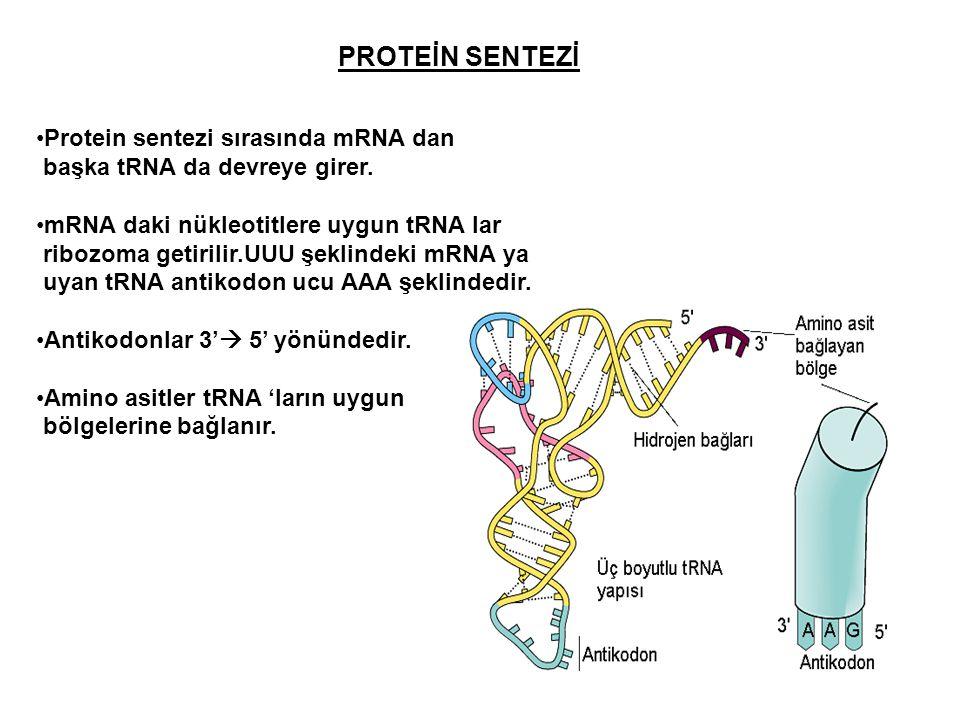 PROTEİN SENTEZİ Protein sentezi sırasında mRNA dan başka tRNA da devreye girer. mRNA daki nükleotitlere uygun tRNA lar ribozoma getirilir.UUU şeklinde