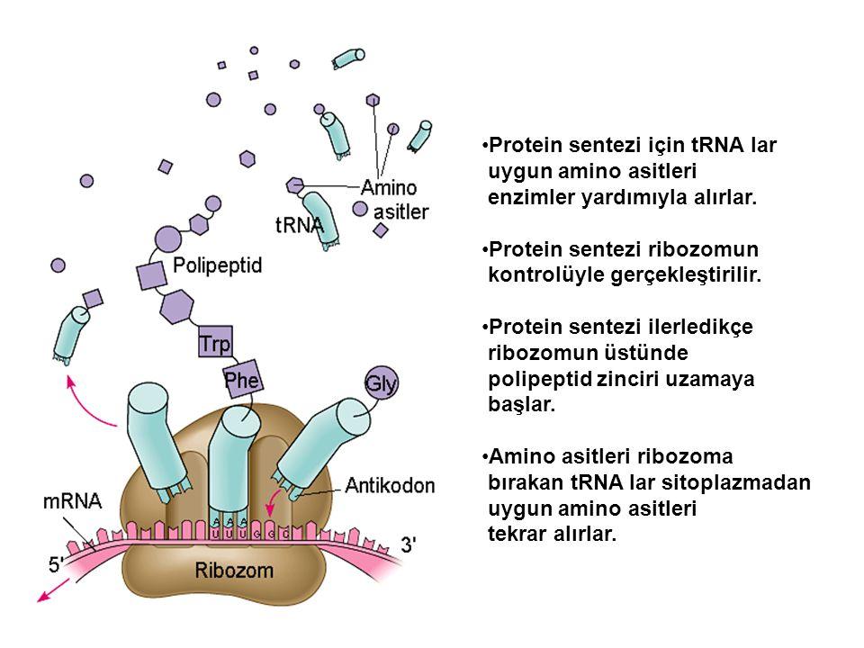 Protein sentezi için tRNA lar uygun amino asitleri enzimler yardımıyla alırlar. Protein sentezi ribozomun kontrolüyle gerçekleştirilir. Protein sentez