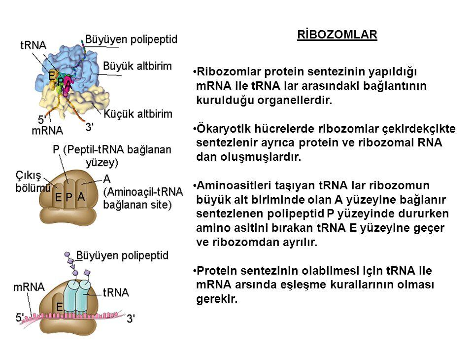 RİBOZOMLAR Ribozomlar protein sentezinin yapıldığı mRNA ile tRNA lar arasındaki bağlantının kurulduğu organellerdir. Ökaryotik hücrelerde ribozomlar ç