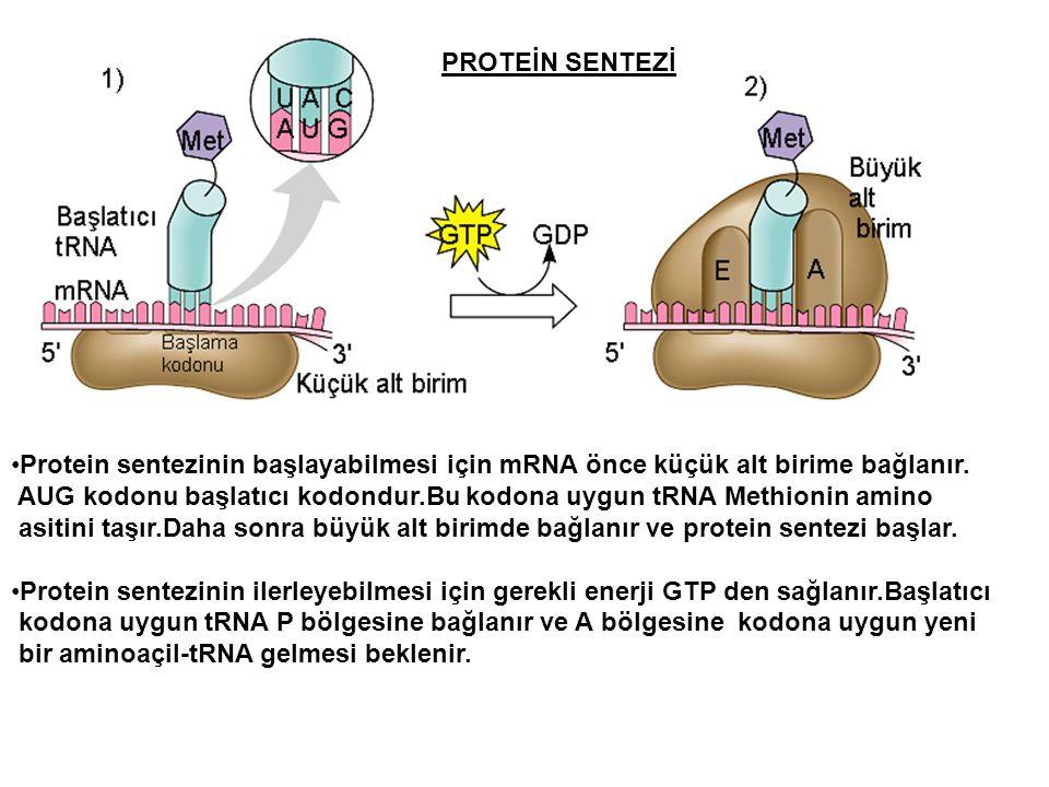 PROTEİN SENTEZİ Protein sentezinin başlayabilmesi için mRNA önce küçük alt birime bağlanır. AUG kodonu başlatıcı kodondur.Bu kodona uygun tRNA Methion