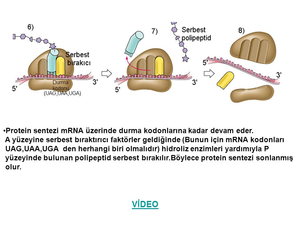 VİDEO Protein sentezi mRNA üzerinde durma kodonlarına kadar devam eder. A yüzeyine serbest bıraktırıcı faktörler geldiğinde (Bunun için mRNA kodonları
