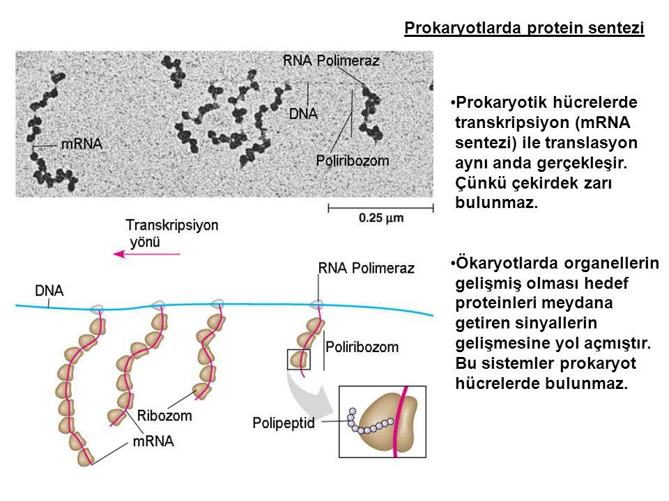 Prokaryotik hücrelerde transkripsiyon (mRNA sentezi) ile translasyon aynı anda gerçekleşir. Çünkü çekirdek zarı bulunmaz. Ökaryotlarda organellerin ge