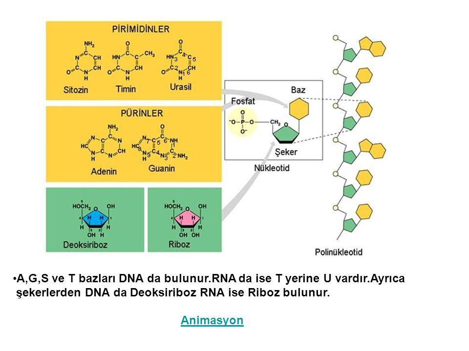 A,G,S ve T bazları DNA da bulunur.RNA da ise T yerine U vardır.Ayrıca şekerlerden DNA da Deoksiriboz RNA ise Riboz bulunur. Animasyon