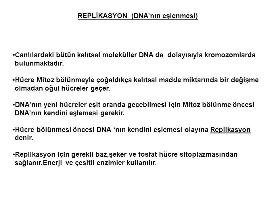 REPLİKASYON (DNA'nın eşlenmesi) Canlılardaki bütün kalıtsal moleküller DNA da dolayısıyla kromozomlarda bulunmaktadır. Hücre Mitoz bölünmeyle çoğaldık