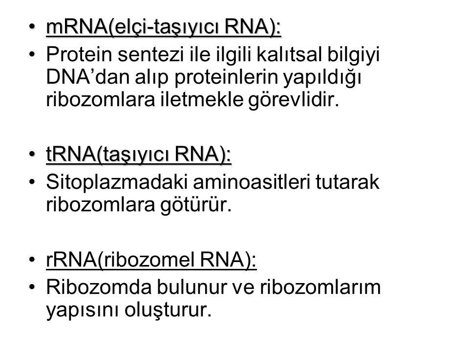 mRNA(elçi-taşıyıcı RNA):mRNA(elçi-taşıyıcı RNA): Protein sentezi ile ilgili kalıtsal bilgiyi DNA'dan alıp proteinlerin yapıldığı ribozomlara iletmekle
