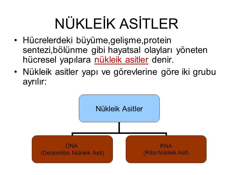 NÜKLEİK ASİTLER Hücrelerdeki büyüme,gelişme,protein sentezi,bölünme gibi hayatsal olayları yöneten hücresel yapılara nükleik asitler denir. Nükleik as