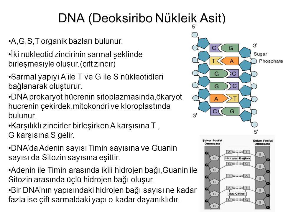 DNA (Deoksiribo Nükleik Asit) A,G,S,T organik bazları bulunur. İki nükleotid zincirinin sarmal şeklinde birleşmesiyle oluşur.(çift zincir) Sarmal yapı