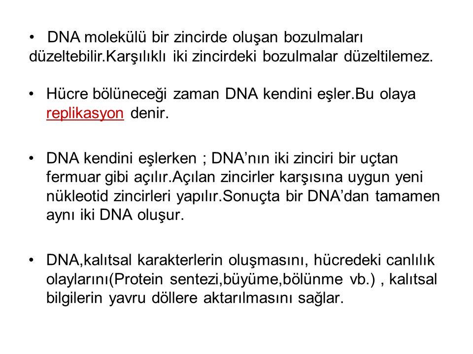 Hücre bölüneceği zaman DNA kendini eşler.Bu olaya replikasyon denir. DNA kendini eşlerken ; DNA'nın iki zinciri bir uçtan fermuar gibi açılır.Açılan z