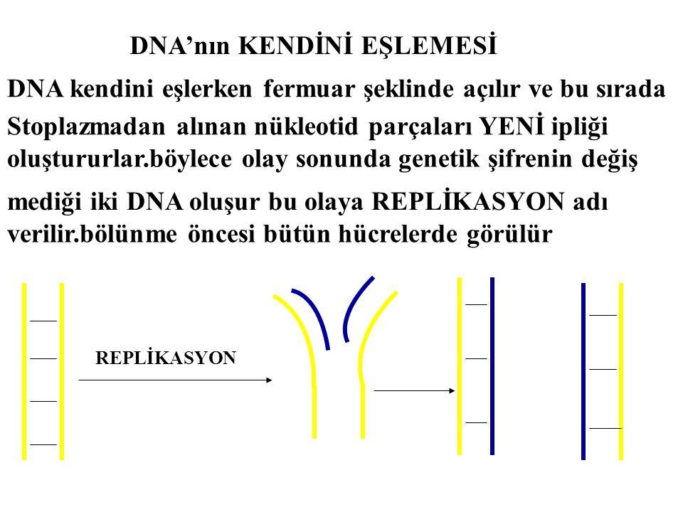 DNA'nın KENDİNİ EŞLEMESİ DNA kendini eşlerken fermuar şeklinde açılır ve bu sırada Stoplazmadan alınan nükleotid parçaları YENİ ipliği oluştururlar.bö