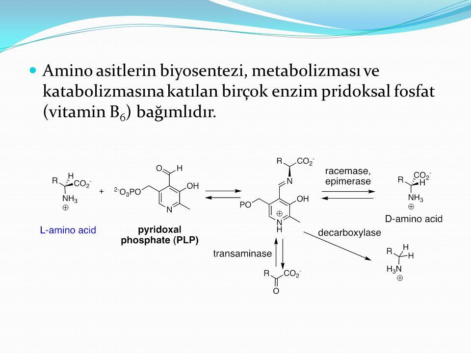 Amino asitlerin biyosentezi, metabolizması ve katabolizmasına katılan birçok enzim pridoksal fosfat (vitamin B 6 ) bağımlıdır.