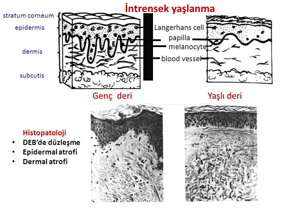 Langerhans cell papilla melanocyte blood vessel stratum corneum epidermis dermis subcutis Genç deri Yaşlı deri İntrensek yaşlanma Histopatoloji DEB'de düzleşme Epidermal atrofi Dermal atrofi