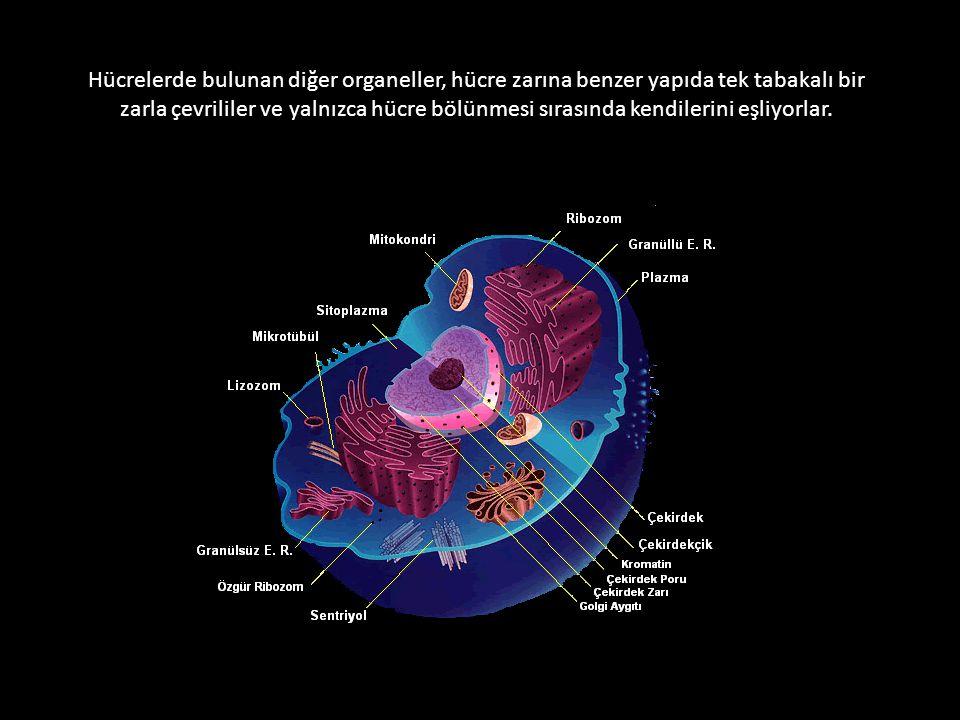 Hücrelerde bulunan diğer organeller, hücre zarına benzer yapıda tek tabakalı bir zarla çevrililer ve yalnızca hücre bölünmesi sırasında kendilerini eş