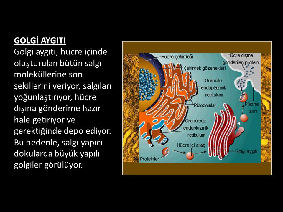 GOLGİ AYGITI Golgi aygıtı, hücre içinde oluşturulan bütün salgı moleküllerine son şekillerini veriyor, salgıları yoğunlaştırıyor, hücre dışına gönderime hazır hale getiriyor ve gerektiğinde depo ediyor.