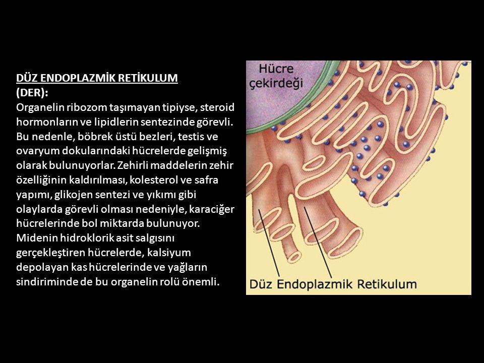 DÜZ ENDOPLAZMİK RETİKULUM (DER): Organelin ribozom taşımayan tipiyse, steroid hormonların ve lipidlerin sentezinde görevli.