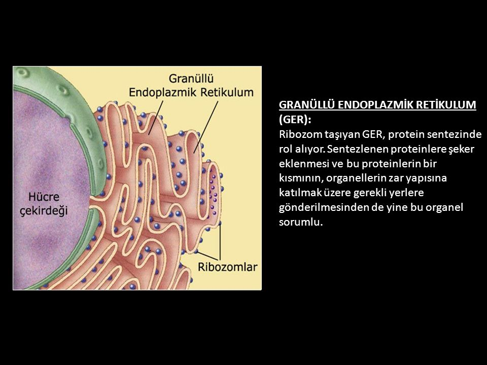 GRANÜLLÜ ENDOPLAZMİK RETİKULUM (GER): Ribozom taşıyan GER, protein sentezinde rol alıyor.