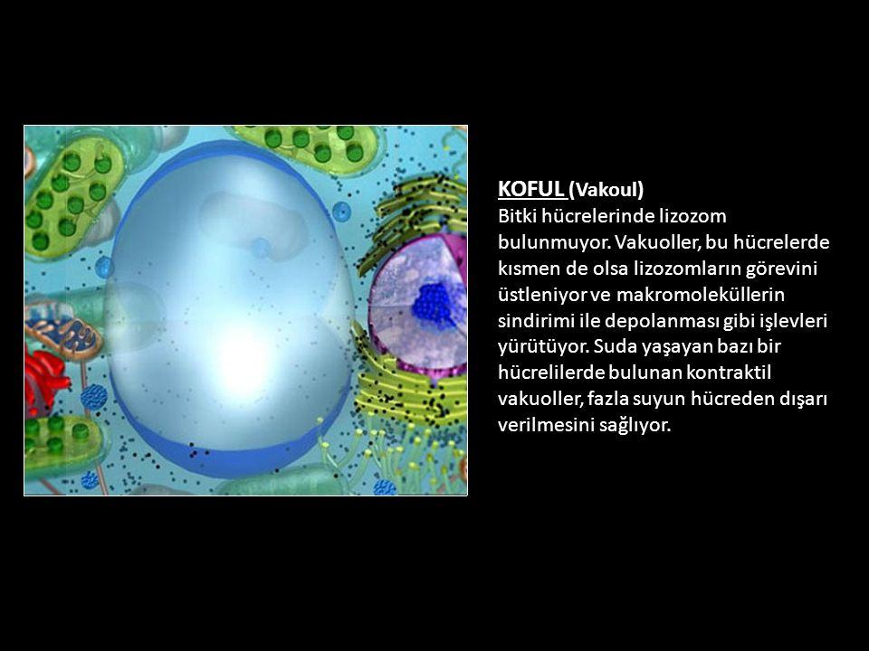 KOFUL (Vakoul) Bitki hücrelerinde lizozom bulunmuyor. Vakuoller, bu hücrelerde kısmen de olsa lizozomların görevini üstleniyor ve makromoleküllerin si