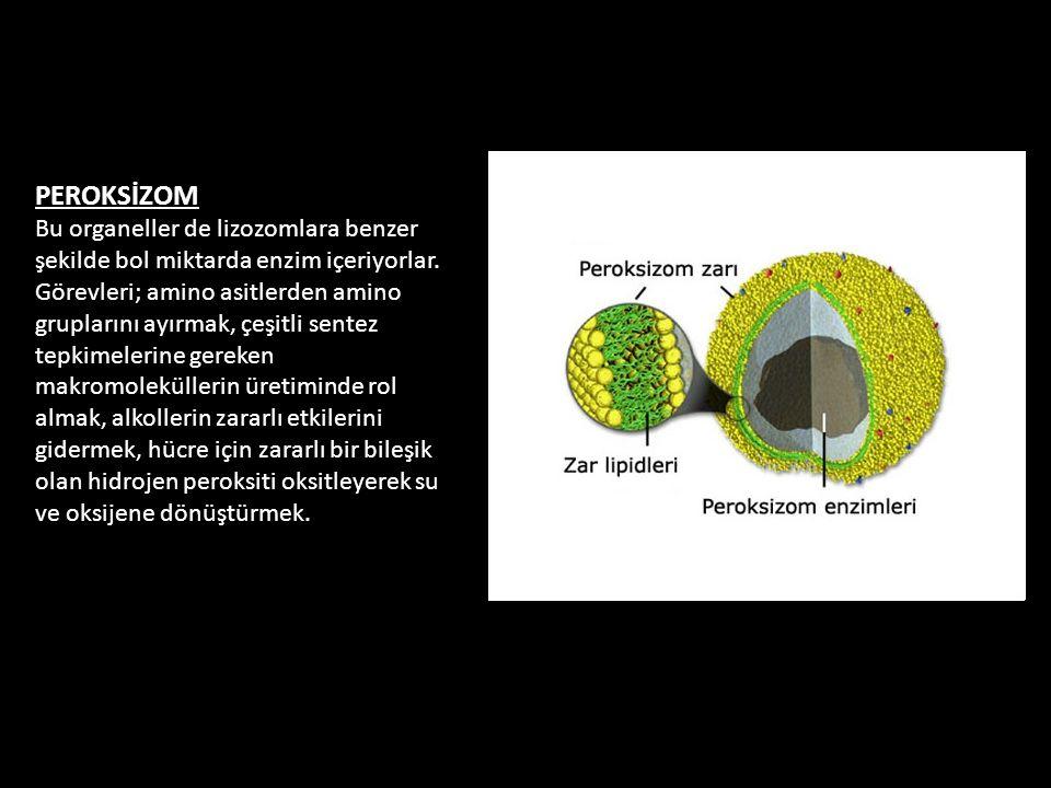 PEROKSİZOM Bu organeller de lizozomlara benzer şekilde bol miktarda enzim içeriyorlar. Görevleri; amino asitlerden amino gruplarını ayırmak, çeşitli s