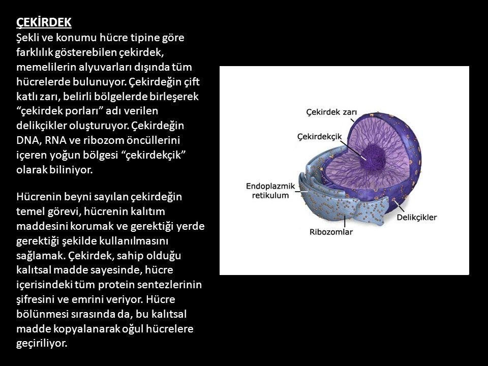 ÇEKİRDEK Şekli ve konumu hücre tipine göre farklılık gösterebilen çekirdek, memelilerin alyuvarları dışında tüm hücrelerde bulunuyor. Çekirdeğin çift