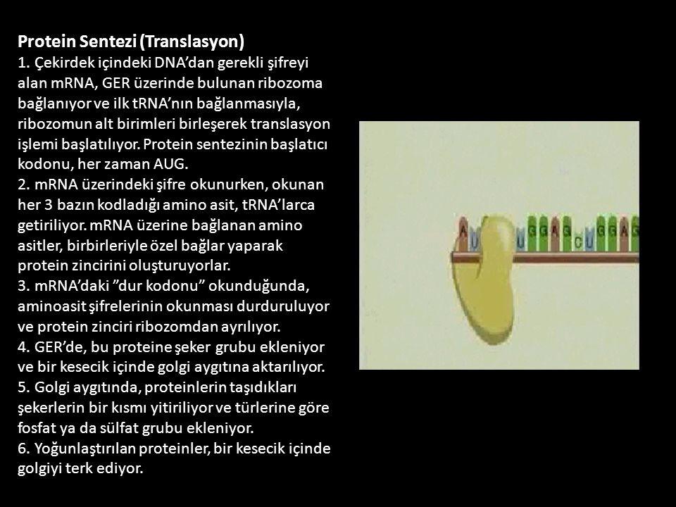 Protein Sentezi (Translasyon) 1. Çekirdek içindeki DNA'dan gerekli şifreyi alan mRNA, GER üzerinde bulunan ribozoma bağlanıyor ve ilk tRNA'nın bağlanm