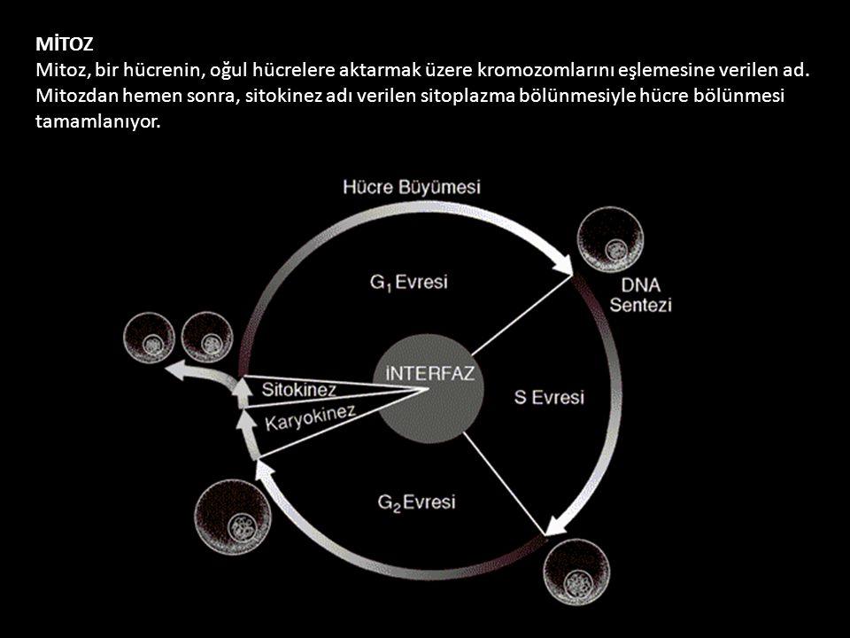 MİTOZ Mitoz, bir hücrenin, oğul hücrelere aktarmak üzere kromozomlarını eşlemesine verilen ad. Mitozdan hemen sonra, sitokinez adı verilen sitoplazma